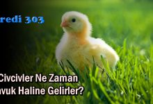 Civcivler Ne Zaman Tavuk Haline Gelirler?