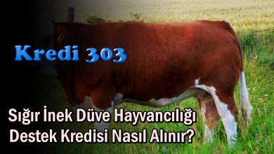 Sığır İnek Düve Hayvancılığı Destek Kredisi Nasıl Alınır?